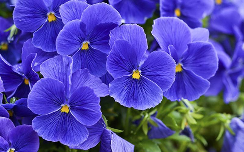 Фиалка – цветок магической силы