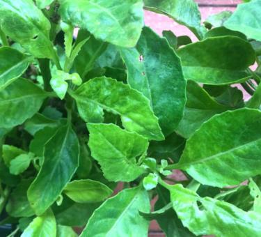 Джинура прокумбенс - листья Бога